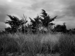 Grass and Trees, Fire Island